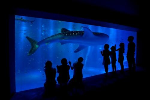 ジンベエザメ展示水槽3